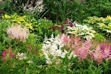 астильбы в саду ландшафтный дизайн фото