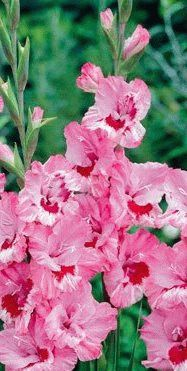 Gladiolus That's Love