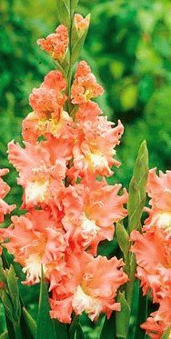 Gladiolus Frizzled Coral Lace