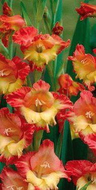Gladiolus Jackpot