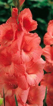 Gladiolus Spic Span