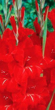Gladiolus Victor Borge