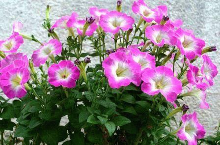 Multiflora Мультифлора петуния