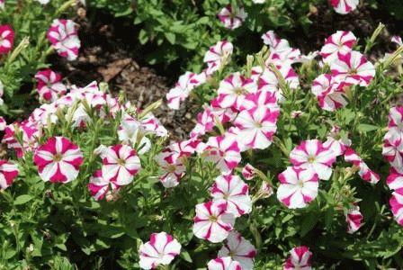 Petunia milliflora Миллифлора