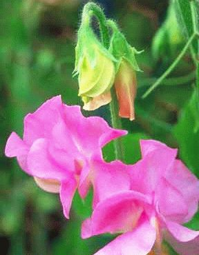 Pink Diana Winter Elegance сорт душистого горошка фото
