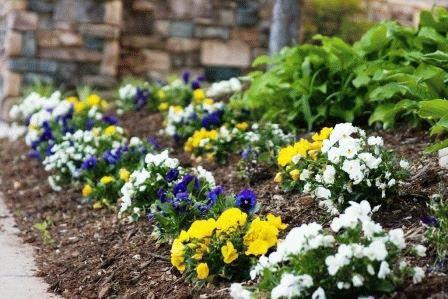 Анютины глазки в ландшафтном дизайне сада и дачи, фото
