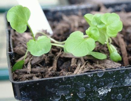 анютины глазки выращивание из семян когда сажать