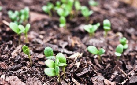 Как сажать анютины глазки (фиалки) семенами в открытый грунт