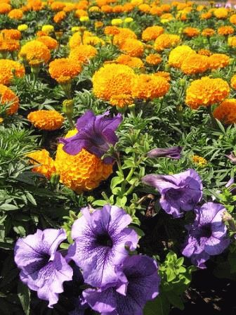 клумба из бархатцев сочетание цветов