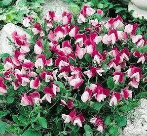 cupid pink Горошек душистый Купидон фото