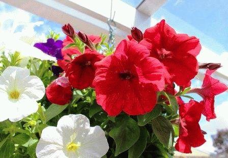 цветы в подвесном кашпо фото