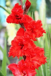 красный гладиолус сорт Ред перл фото
