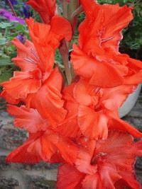красный гладиолус сорт Царская охота фото