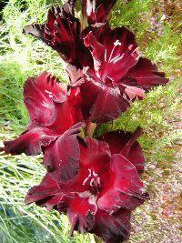 красный гладиолус сорт Черный кардинал фото