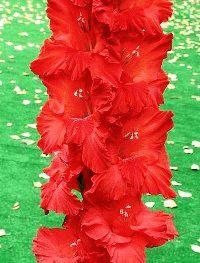 красный гладиолус сорт Гранада фото