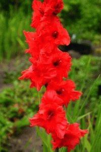 красный гладиолус сорт Иоанн-воин фото