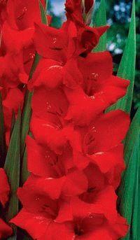 красный гладиолус сорт Привет Оскар фото