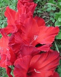 красный гладиолус сорт Реванш фото