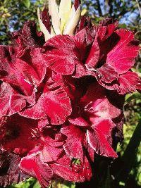 красный гладиолус сорт Скорпион фото