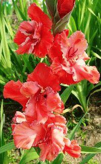 красный гладиолус сорт Волнистая бахрома фото