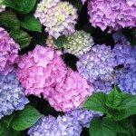 садовые цветы гортензия