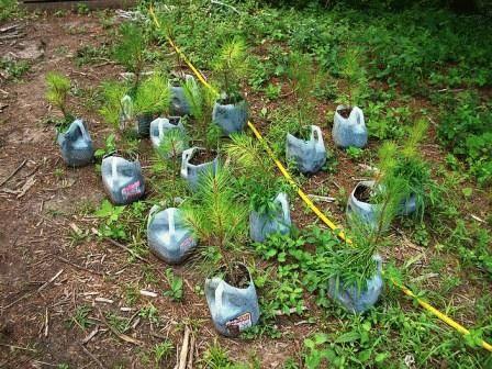 как вырастить кедр из семян дома
