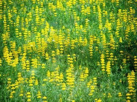 Люпин желтый фото