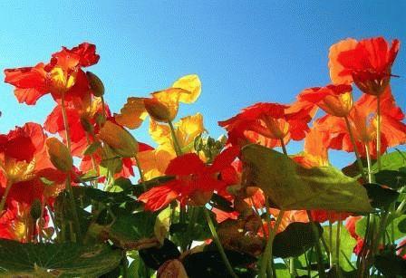 Настурция – уход за цветами фото
