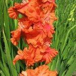 Оранжевые гладиолусы – сорта, фото, описание цветов