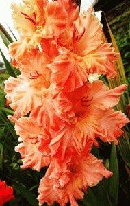 оранжевый гладиолус сорт Магия цвета фото