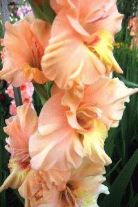 оранжевый гладиолус сорт Мать Варвара фото