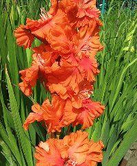 оранжевый гладиолус сорт Солнышко фото