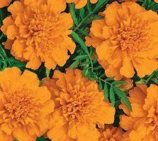 бархатцы сорт Петит оранжевый фото