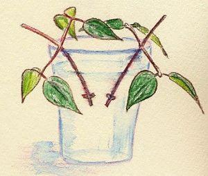 Укоренение черенков клематиса в воде картинка