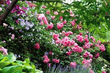 розы и клематис в ландшафтном дизайне сада фото
