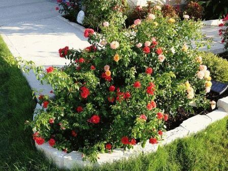 с чем сочетаются розы в саду на участке фото