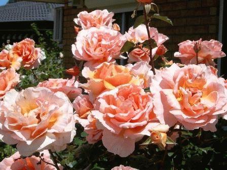 розовые розы в дизайне сада фото