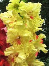 желтый гладиолус сорт Изюминка фото