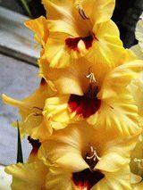 желтый гладиолус сорт Контраст фото