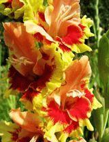 желтый гладиолус сорт Скайста Комбинация фото