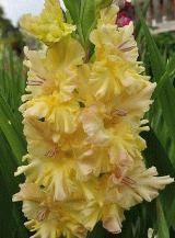 желтый гладиолус сорт Золотая десятка фото