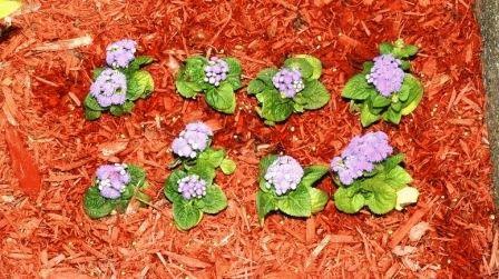 агератум выращивание и уход