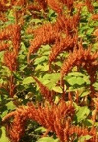 амарант зерновой гелиос фото
