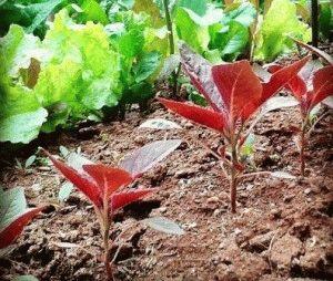 как выращивать амарант из семян фото