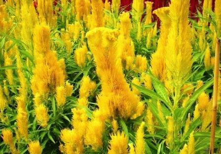 желтый амарант фото
