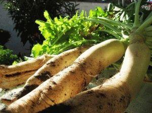 Дайкон: выращивание, уход и хранение