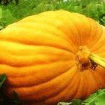 Тыква крупноплодная – фото и сорта для зимнего хранения