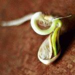 Посадка тыквы семенами в открытый грунт
