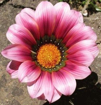 Газания одноцветковая