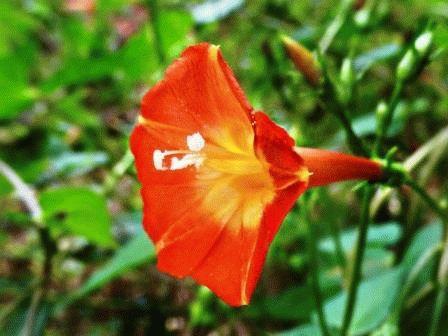 Ipomoea coccinea Квамоклит огненно-красный фото ипомея